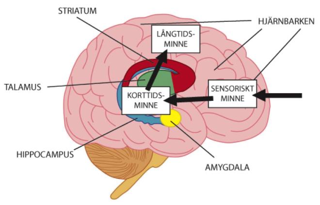 hur funkar hjärnan